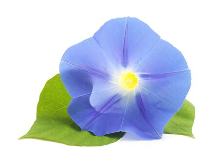Flower ipomoea blue with leaves isolated on white background. Фото со стока