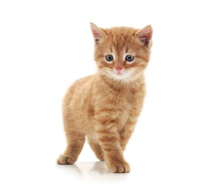 One beautiful cat isolated on a white background.