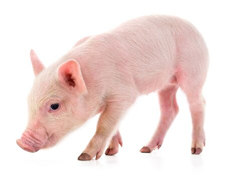 Un piccolo maialino isolato su uno sfondo bianco.