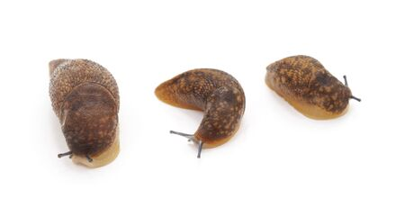 Three brown snails isolated on a white background.