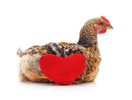 Chicken with heart isolated on a white background.