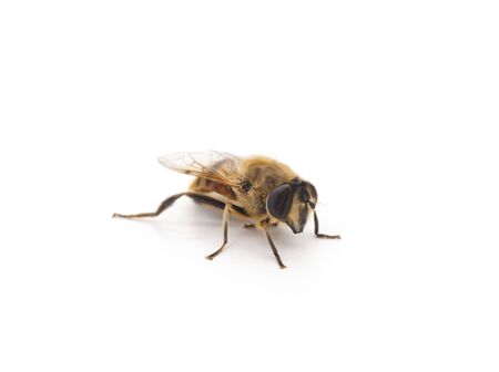 One little bee isolated on a white background. 写真素材