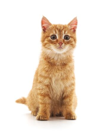One red kitten isolated on a white background.