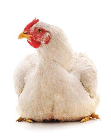 One white chicken isolated on a white background.