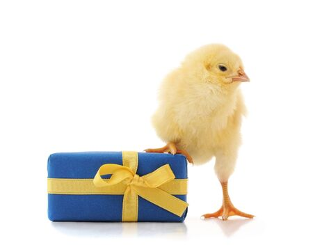 One little chicken with a gift isolated on a white background.
