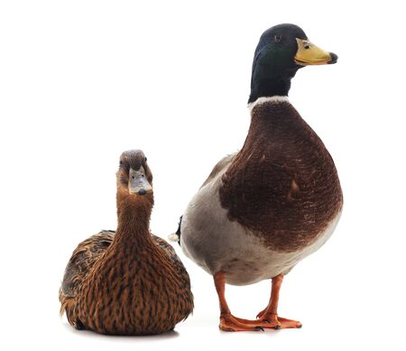 Two wild duck isolated on a white background.