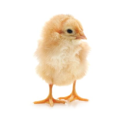 Small yellow chicken isolated on a white background.