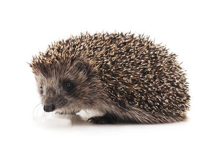 One brown hedgehog isolated on a white background. Imagens