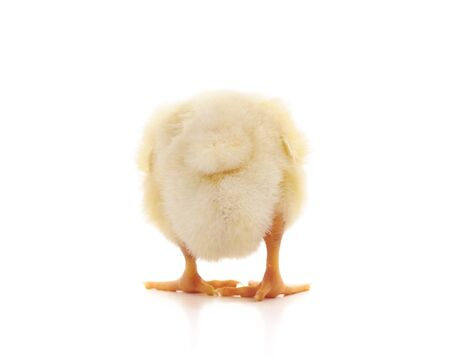 Small yellow chick turned her back isolated on white background.