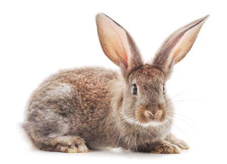 Jeden brązowy królik na białym tle.