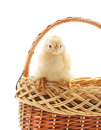 Small chicken in the basket isolated on a white background.