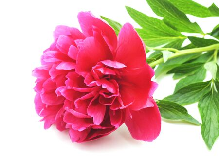 One pink peony isolated on a white background. Banco de Imagens - 133679042