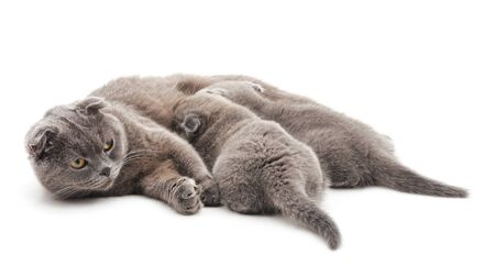 Three gray cats isolated on a white background. Stock Photo