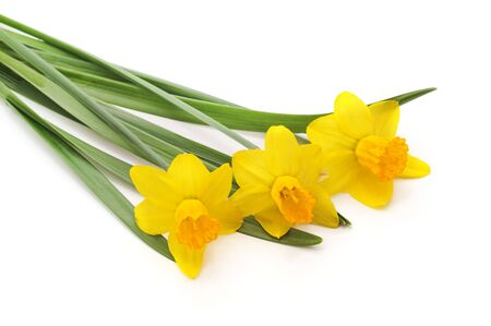 Yellow spring daffodils isolated on a white background. 版權商用圖片