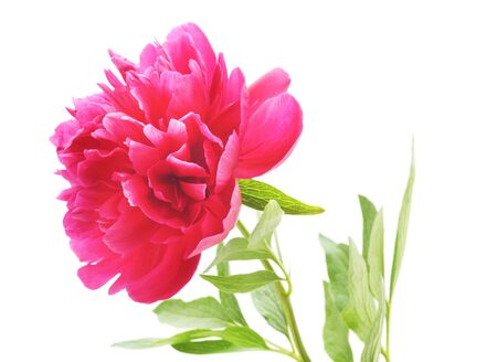 One pink peony isolated on a white background. Banco de Imagens - 133679419