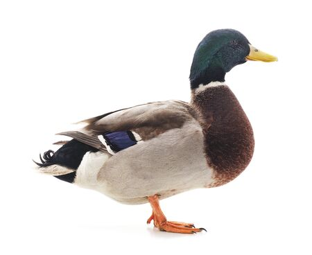 One brown duck isolated on a white background.