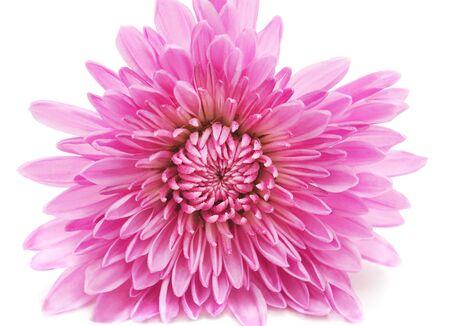Pink beautiful chrysonthemum isolated on white background. 版權商用圖片