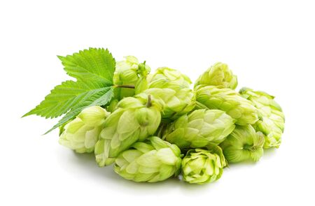 Green flower hop isolated on a white background. Standard-Bild