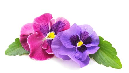 Two beauty violets isolated on a white background. Banque d'images