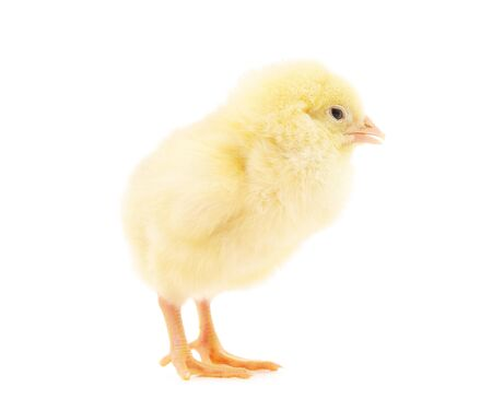 Small yellow chicken isolated on a white background. Banco de Imagens