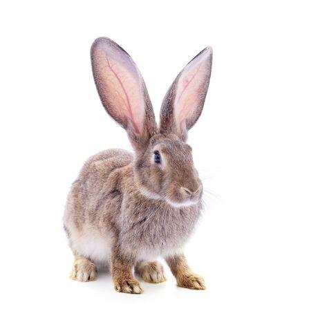 Un conejo marrón aislado en un fondo blanco.