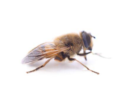 Una pequeña abeja aislada sobre un fondo blanco.
