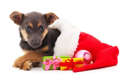 One dog in a Christmas hat with gifts isolated on a white background.