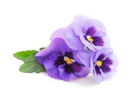 Trois violettes bleues isolées sur fond blanc.