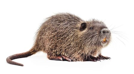 One brown nutria isolated on a white background.