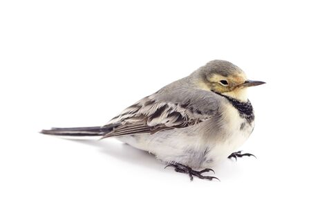 Little gray bird isolated on a white background.