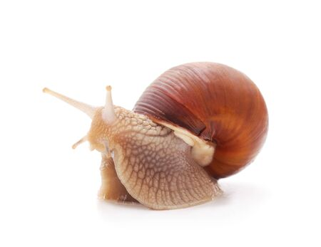 One brown snail isolated on a white background.