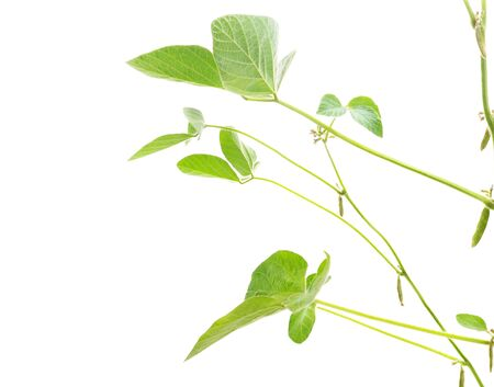 Green leaves soybean isolated on white background. Stockfoto