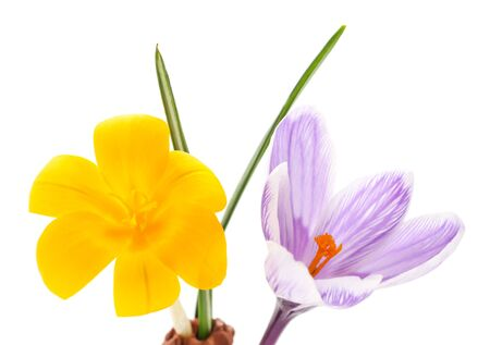 Yellow bouquet of crocuses isolated on white background.