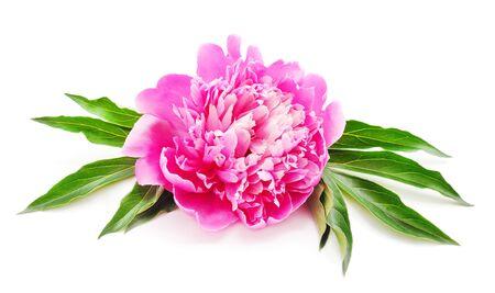 白い背景に隔離されたピンクの牡丹。 写真素材
