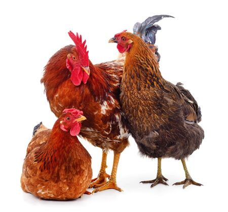Three brown chickens isolated on a white background. Фото со стока