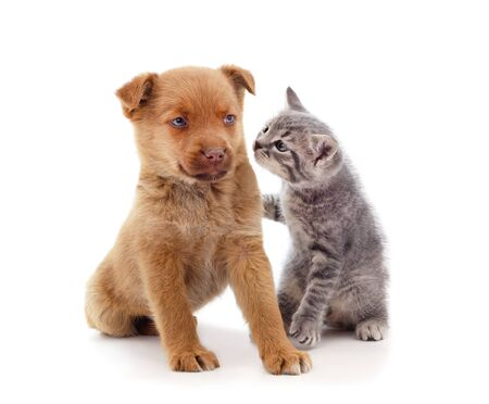 Red dog with a kitten isolated on a white background.