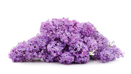 Bouquet of beautiful lilacs isolated on a white background.