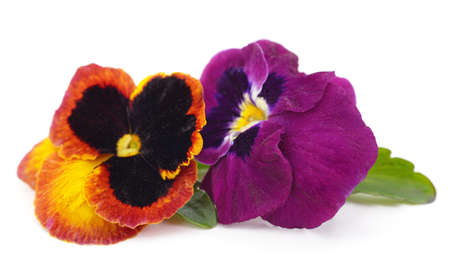 Bouquet of purple petunia isolated on a white background.