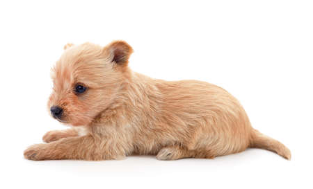 One little dog isolated on a white background. Stok Fotoğraf