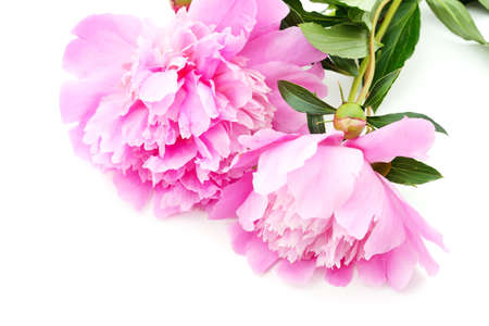 Two violet peonies isolated on a white background.