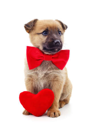 One dog with a red heart and bow isolated on a white background. Stok Fotoğraf