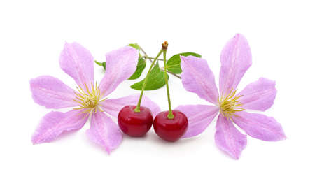 Purple clematis with cherries isolated on white background.