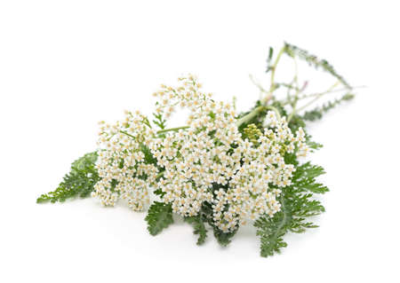 Beautiful yarrow flowers isolated on a white background.