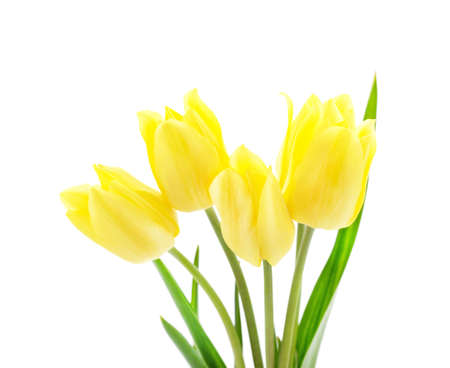 Beautiful yellow tulips isolated on a white background.