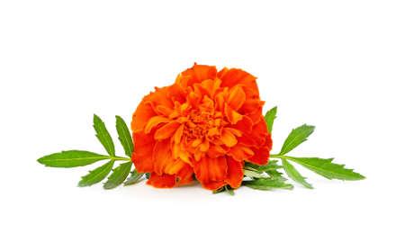 Beautiful orange flowers isolated on a white background.