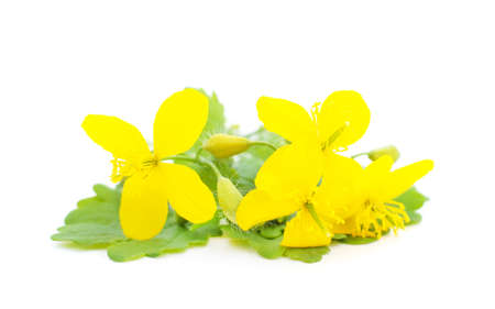 Medicinal flower of celandine isolated on a white background.