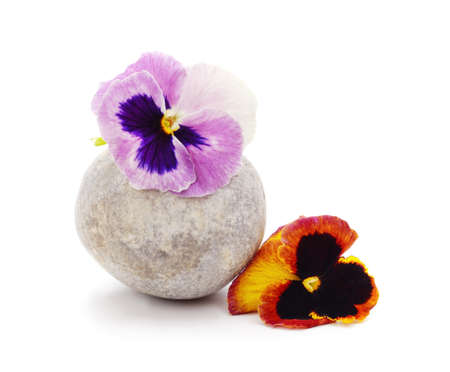 Two beauty violets with pebble isolated on a white background. Stok Fotoğraf
