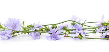 Blue chicory flowers isolated on a white background. Stok Fotoğraf