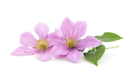Purple clematis with green leaves isolated on white background.