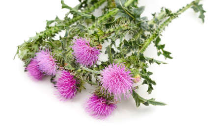 Beautiful violet thistle isolated on a white background. Stok Fotoğraf